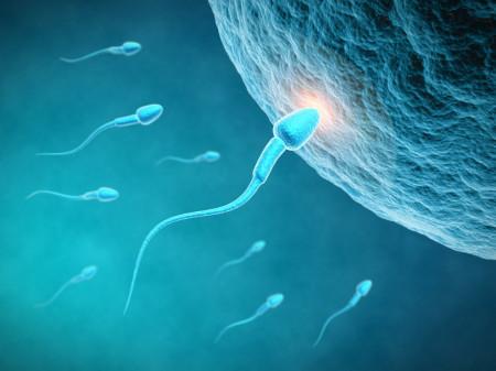 Spermien befruchten eine Eizelle